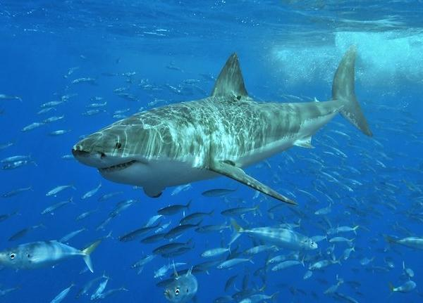 Great White_shark